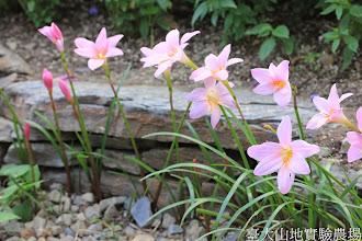 Photo: 拍攝地點: 梅峰-溫帶花卉區 拍攝植物: 韮蘭 拍攝日期: 2014_07_27_FY