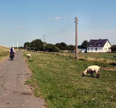Photo: Schafe, eins auf´m Rad