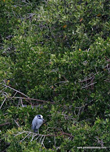 Photo: Yellow-crowned Night-Heron, Nuevo Vallarta