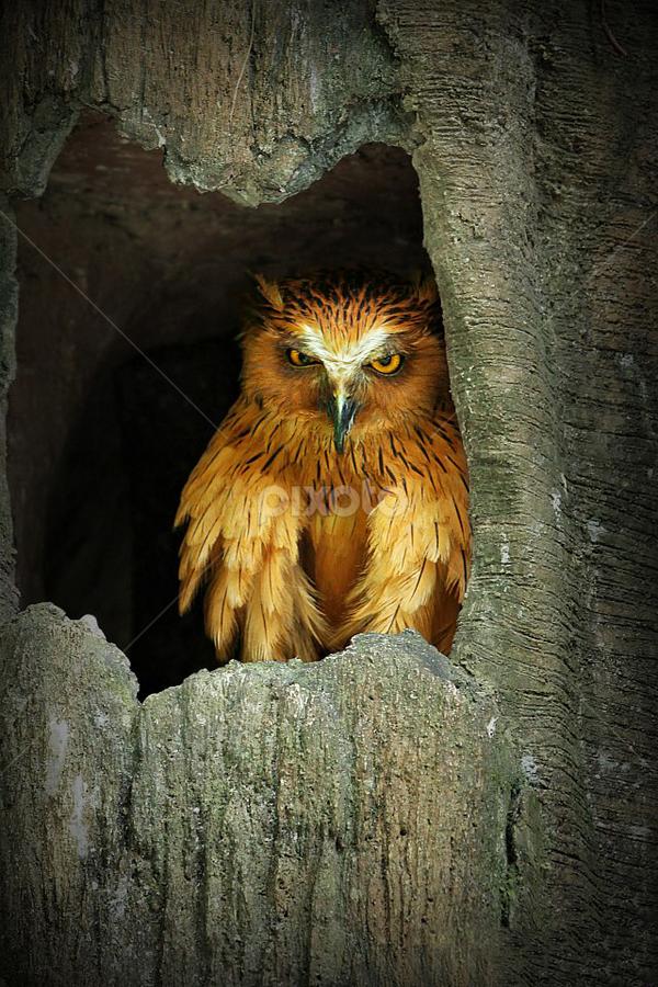 Look At Me by Martinus E. P. Kaparang - Animals Birds ( owl )