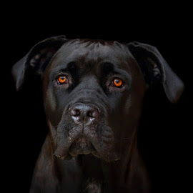 Cane Corso by Alessandra Cassola - Animals - Dogs Portraits ( #dog corso, #cane corso, #dog, #corso )