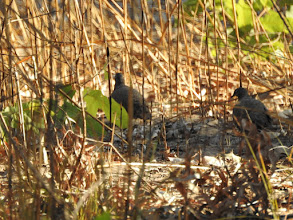 Photo: Chestnut-quilled Rock-Pigeons