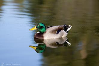 Photo: Mallard Duck @ Memorial Park, Cupertino, CA - http://photo.leptians.net/#Mallard_Duck.jpg