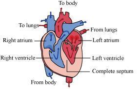 Avian and mammalian hearts