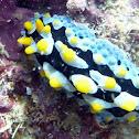 Black-Spotted Sea Cucumber