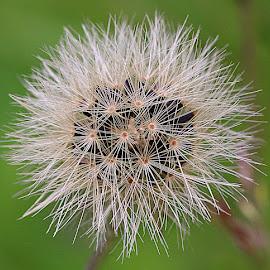 Hawkweed Seedhead by Chrissie Barrow - Nature Up Close Other plants ( plant, wild, macro, hawkweed, green, seeds, brown, bokeh, cream, seedhead,  )