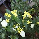 Yellow Mussaenda, 非洲玉叶金花