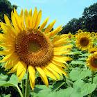 Himawari Sunflower