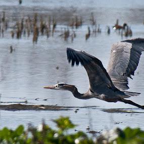 Take off by Kati Garner - Nature Up Close Water ( water, bird, egret )