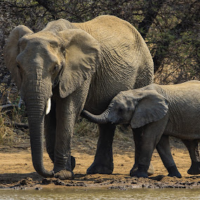 Elephants by Dirk Luus - Animals Other Mammals ( mammal, nature, elephants, tusk, wildlife )