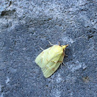 Maple-Basswood Leafroller