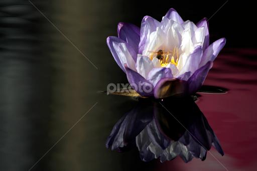 Lotus love single flower flowers pixoto lotus love by mary dalba flowers single flower new orleans lotus mightylinksfo