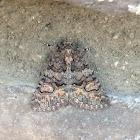 Heteranassa Moth