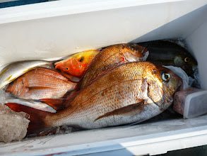 Photo: 今回もキビシイ釣果でした。 クマガイさん。 腰を直してリベンジですね。・・・イノウエさんの釣果を撮り忘れました。 真鯛、オナガ、イサキで15匹ぐらいでした。