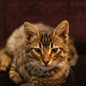 Zoka by Tawfik Dajani - Animals - Cats Portraits
