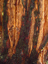 "Photo: ""Striped"" Redwood"