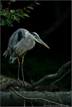 Photo: Great Blue Heron:  One of my first images taken with the Swarovski Spotting Scope! 1/160s iso250 f9  Please join me in Ecuador! Details here:  http://tinyurl.com/q8e7w8r  The heron image is a titch dark, but it creates a mood, and brings out the nasty herons dark side!! I was at least 80 yards from this bird!  Thanks to all my G+ friends ~~!  Take good care. pls share!  #nature #travel #raymondbarlow #wildlifephotographers #wildlife #birdloversworldwide #heron #heronphotography #greatblueheron  #hqspbirds #birdsgallery #birds4all #photomaniacanada #naturephotography #birdphotography  #birdphotographs #googlephotos #googlephotography #wildlifephotographer  #raymondbarlownaturephototours #travelphotography #10000photographers