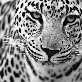 by Claudia Lothering - Black & White Animals