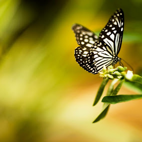 Butterfly  by Austin Neelankavil - Animals Insects & Spiders ( butterfly,  )