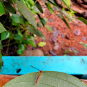 cocoa tussock moth