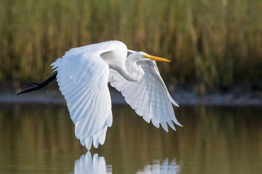 Great Egret by Carl Albro - Animals Birds ( bird, flying, heron, bif, great egret )