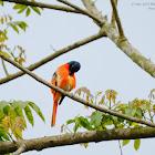 Scarlet Minivet 赤紅山椒鳥