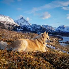 Guard by Elisabeth Sjåvik Monsen - Animals - Dogs Portraits ( northern, winter, nature, dog, coast, norway,  )