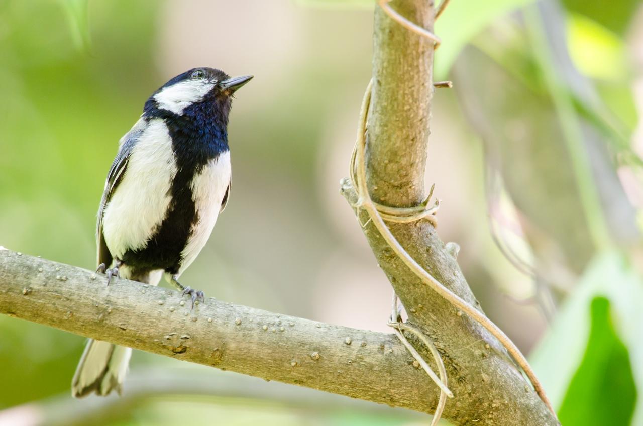 Photo: 森の小さな紳士 Little gentleman of the forest.  Photo of Japanese Tit. ネクタイをびしっと決めて すっと起立 小さな紳士の 可愛らしいお出迎え。  (シジュウカラ) #birdphotography #birds #cooljapan #365cooljapanmay Nikon D7000 APO 50-500mm F4.5-6.3 DG OS HSM [ Day95, August 15th ]  ☆こちらは22日(金)から開催される三人展、 その出展候補としていて 最終的に候補から外すことにした まだ未公開のものとなります。 ---------- 【おしらせ】写真展を開催します。  「Google+三人写真展 2014 / The Three Men Emerge 2014」  会期: 8月22日[金]~31日[日] Open 11:00-19:00 会場: Island Gallery 東京都中央区京橋1-5-5 B1 tel / 03-3517-2125 ※入場無料 会期中無休 詳細: http://islandgallery.jp/9987 --------------------------------------------------
