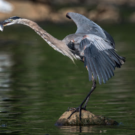 I got a Fish by Mike Watts - Animals Birds ( bird, great blue heron, fish, high rock lake )