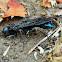 Steel-blue Cricket Hunter