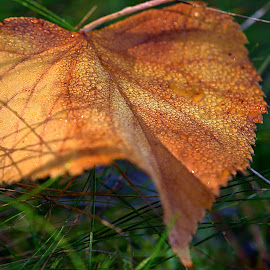 by Helena Jirasová - Nature Up Close Other plants ( autumn leaf )