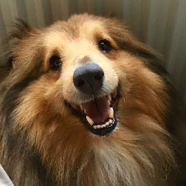 Lucas by Ann Cooper - Animals - Dogs Portraits ( sheltie, smiling )