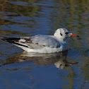 Gaviota reidora (Black-headed gull)