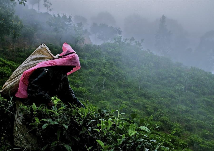 Tea crop in Sri lanka by Ivoryne O - Professional People Factory Workers ( tea crop in sri lanka )