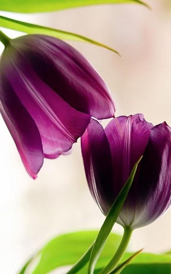 Purple Tulips Wallpaper Background