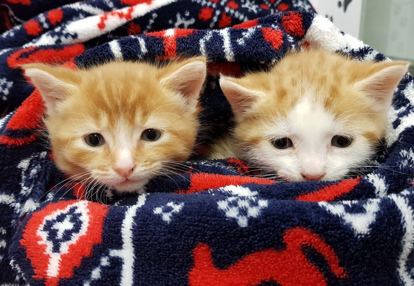 Kittens in a blanket