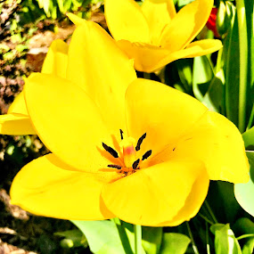 Jeuned by Anny Patterson - Flowers Single Flower ( #yellow #flower #spring #color #grass )