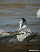 Photo: Forster's Tern, Bolivar Flats Shorebird Sanctuary, upper Texas Coast