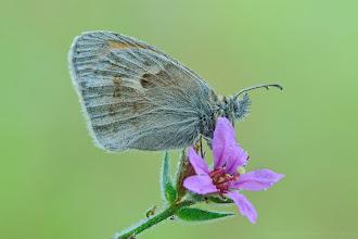 Photo: Coenonympha pamphilus, Fadet commun ou Procris, Small Heath http://lepidoptera-butterflies.blogspot.fr/
