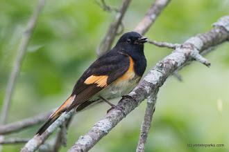 Photo: Blackburnian warbler at Alburgh Dunes State Park by Raven Schwan-Noble