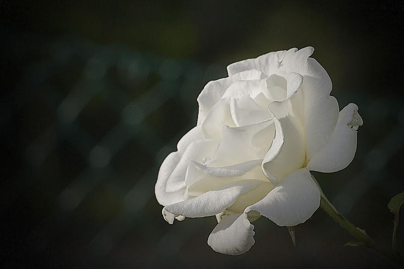 bianca come la purezza di massimo bertozzi