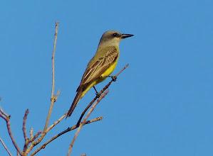 Photo: Cassinkönigstyrann (Tyrannus vociferans, Cassin`s Kingbird)