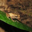 Pigmy Robber Frog