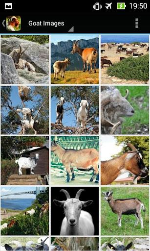 GoatBG: Goat Wallpapers