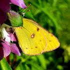 Orange sulpher butterfly