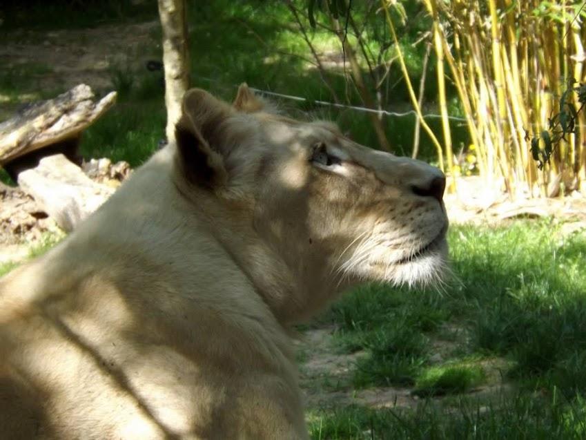 Lionne blanche, zoo de la Flèche - Tous droits réservés