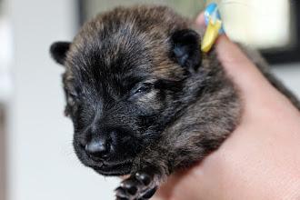 Photo: dag 9, de ogen van een aantal pups gaan al open