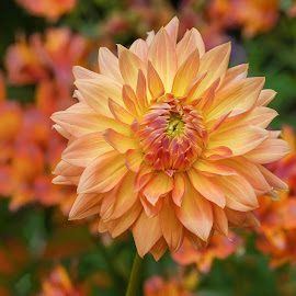 Yellow/Orange Dahlia by Jim Downey - Flowers Single Flower ( orange, red, green, dahlia, yellow )