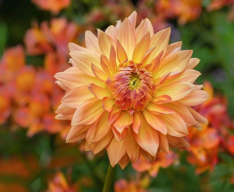 Yellow/Orange Dahlia by Jim Downey - Flowers Single Flower ( orange, red, green, dahlia, yellow )
