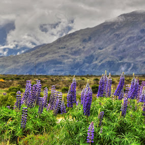 Picturesque Lupinus by Rozaitonisah Razali - Landscapes Prairies, Meadows & Fields ( mountains, purple, south new zealand, lupinus, flowers )